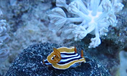 Tauchen in Marsa Alam Pyjama-Nudibranch